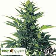 High Quality Seeds Original Californian Orange Skunk
