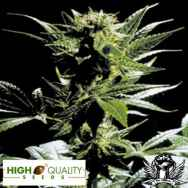 High Quality Seeds Outsider