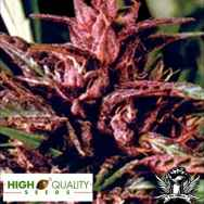 High Quality Seeds Purple Tops