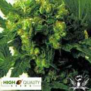 High Quality Seeds Skunk 3 x A2