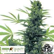 High Quality Seeds South African Durban Poison x Skunk