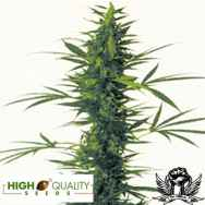 High Quality Seeds South India x Skunk