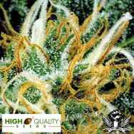 High Quality  Seeds White Pearl