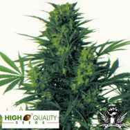 High Quality Seeds Afghani Hindu Kush