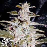 Short Stuff Seeds Himalaya Orange Diesel