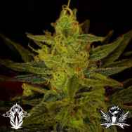 Holy Smoke Seeds Zambezi