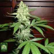 Homegrown Fantaseeds Homegrown CH.1 AUTO AKA Homegrown Cheese AUTO