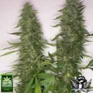 Homegrown Fantaseeds Citral