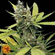 Barneys Farm Seeds Honey B