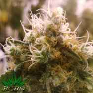 BC Bud Depot Seeds Honey OG