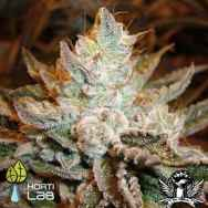 Hortilab Seeds Sour Power