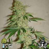 Hortilab Seeds SourStar