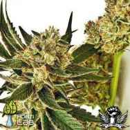 Hortilab Seeds StarBud