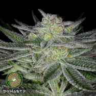 Dynasty Genetics Seeds Huckleberry Kush V3