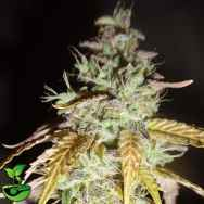 Feminised Seeds Company Hula Haze