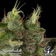 Humboldt Seed Organization Bubba Kush REGULAR