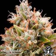 Humboldt Seed Organization Chemdawg