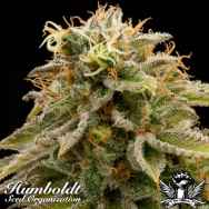 Humboldt Seed Organization Lemon Thai Kush REGULAR