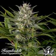 Humboldt Seed Organization Pineapple Skunk