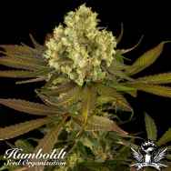 Humboldt Seed Organization Sour Blueberry