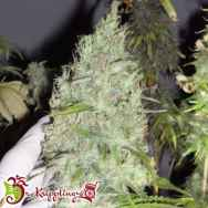 Dr. Krippling Seeds Incredible Bulk