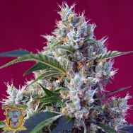 Sweet Seeds Indigo Berry Kush