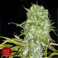 French Touch Seeds Irie