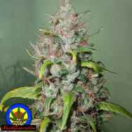 Next Generation Seeds Island Sweet Skunk