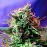 Sweet Seeds Jack 47 Fast Version