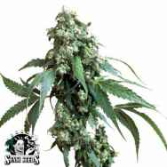 Sensi Seeds Jack Flash #5