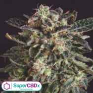 SuperCBDx Seeds Jack Flash x SCBDX