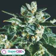 SuperCBDx Seeds Jack Herer x SCBDX