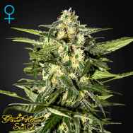 Green House Seeds Jack Herer AUTO