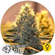 The Bulldog Seeds Jack Herer AUTO