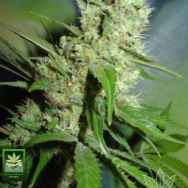 Homegrown Fantaseeds Jack Herer
