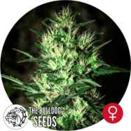 The Bulldog Seeds Jack Herer