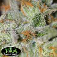 TGA Subcool Seeds Jack Straw