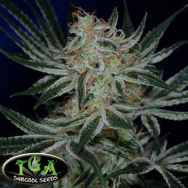 TGA Subcool Seeds Jack The Ripper