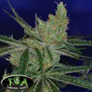 TGA Subcool Seeds Jack's Cleaner 2