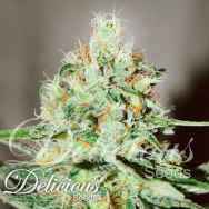 Delicious Seeds Jagg Kush