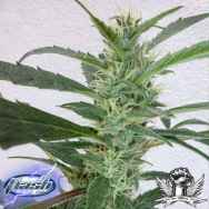 Flash Autoflowering Seeds Jamaican Berry SuperAuto F1