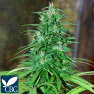 Cannabiogen Seeds Jarillo