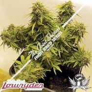 Lowryder Seeds JD's Auto Mix