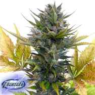 Flash Autoflowering Seeds Jet 47