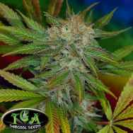 TGA Subcool Seeds JillyBean