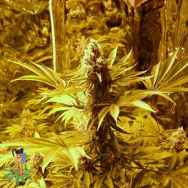 Sativa Seeds Jock Horror Autoflowering