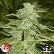 Jordan Of The Islands Seeds God's AK47