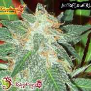 Dr. Krippling Seeds Jumping Black Dash AUTO