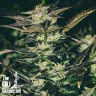 Cali Connection Seeds Jupiter Og