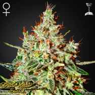 Green House Seeds K Train